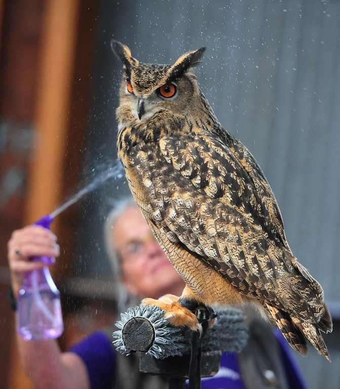 . (CHRIS RILEY �TIMES-HERALD) Linda Knight spritzes a Eurasian eagle owl during a presentation from Native Bird Connection at the SF Bay Flyway Festival on Mare island in Vallejo on Saturday.