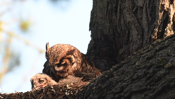 SF owlet video