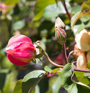 Roses in the Backyard