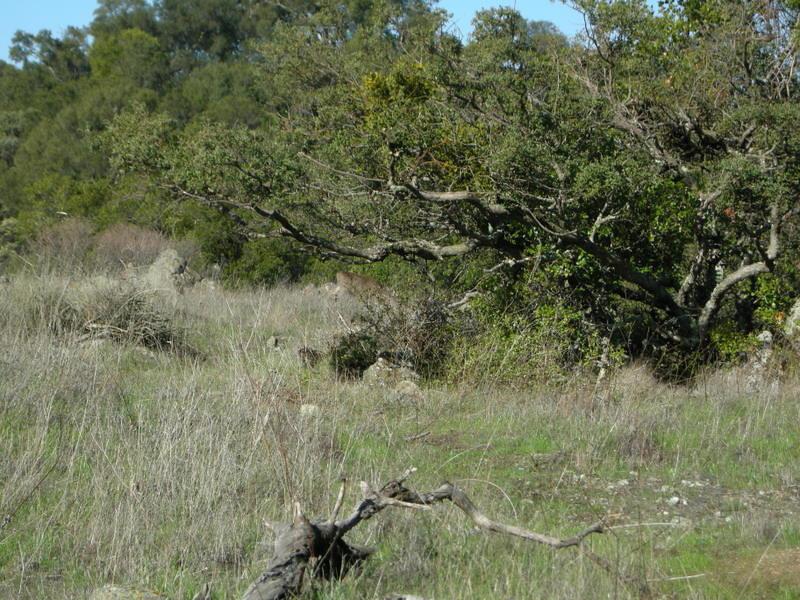 A deer munches her way through the fresh grass.