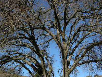 A typical Santa Cruz mountains Oak