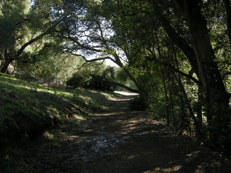A freshly fallen tree across the Guadalupe Trail