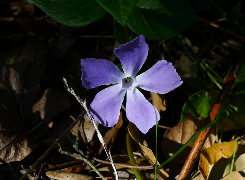 I finally found a flower - periwinkle, a non-native. Sigh.