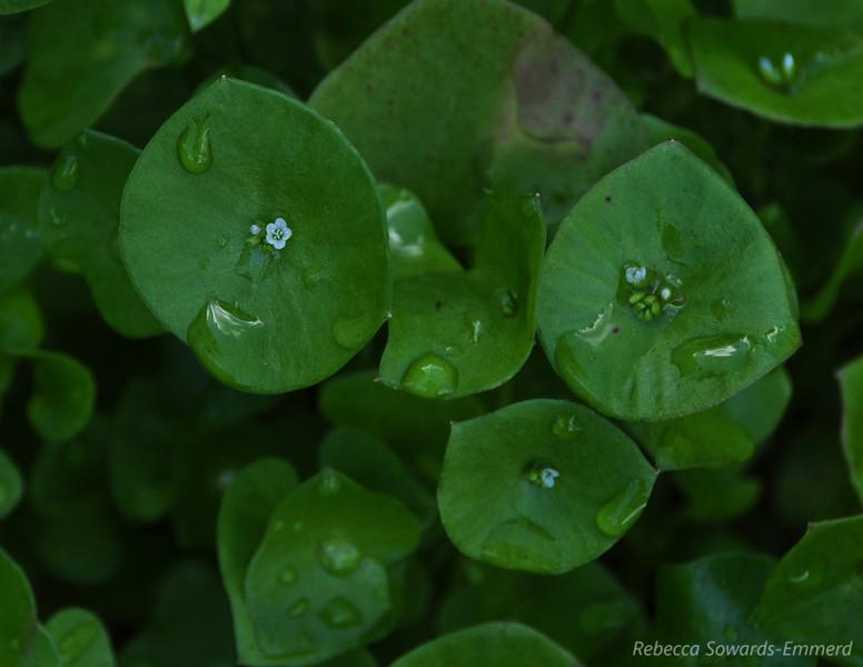 Name: Miner's Lettuce (Claytonia perfoliata)<br /> Location: Almaden Quicksilver County Park<br /> Date: Feburary 7, 2010