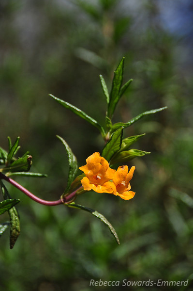 Name: Bush Monkey Flower (Mimulus aurantiacus)<br /> Location: Almaden Quicksilver County Park<br /> Date: February 7, 2010