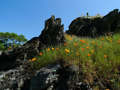 Couple of poppies out on the hillsides