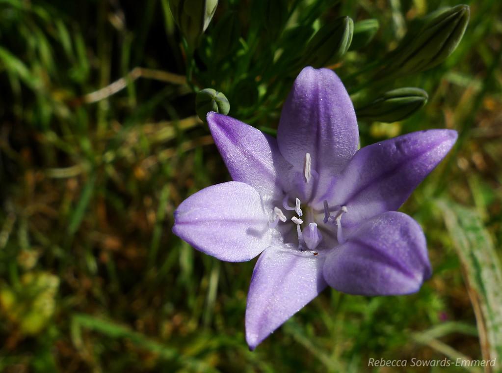 Name: Ithuriel's Spear (Triteleia laxa)<br /> Location: Almaden Quicksilver County Park<br /> Date: April 23, 2010