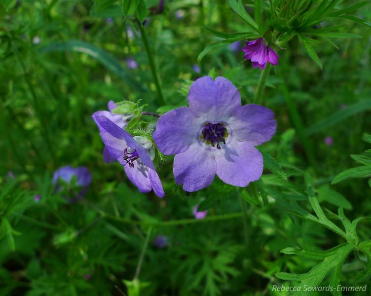Name: Blue Fiesta Flower (Pholistoma auritum)<br /> Location: Almaden Quicksilver County Park<br /> Date: April 23, 2010
