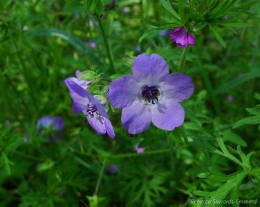 Name: Blue Fiesta Flower (Pholistoma auritum) Location: Almaden Quicksilver County Park Date: April 23, 2010