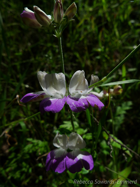 Name: Chinese Houses (Collinsia heterophylla)<br /> Location: Almaden Quicksilver County Park<br /> Date: April 23, 2010