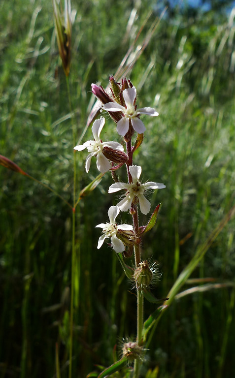 Windmill Pink<br /> (Common Catchfly)