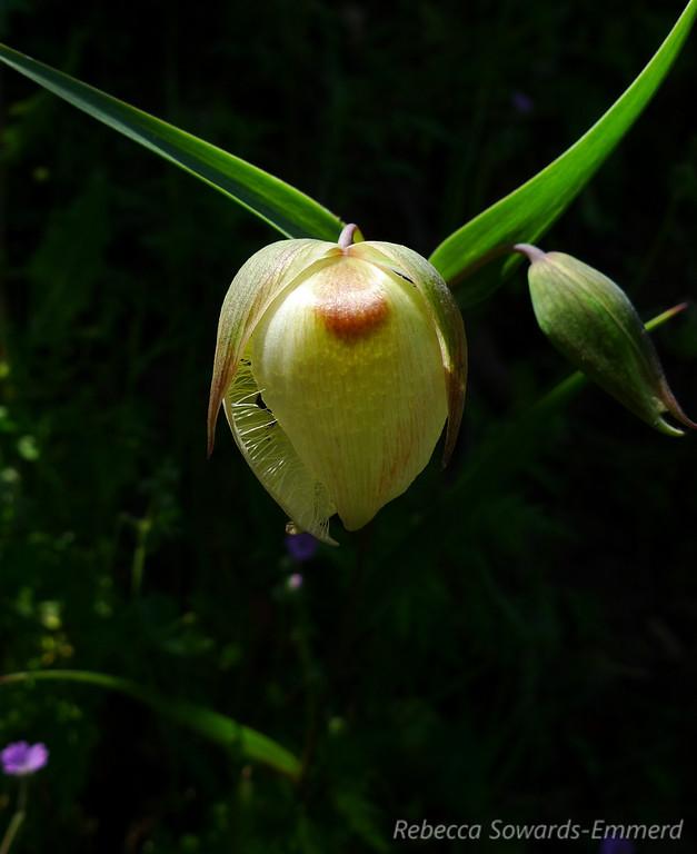 Name: Globe Lily/Fairy Lantern (Calochortus albus)<br /> Location: Almaden Quicksilver County Park<br /> Date: April 23, 2010