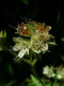 Common Phacelia