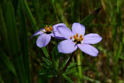Common Linanthus  ?