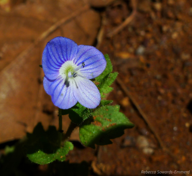 Name: Persian Speedwell (Veronica persica)<br /> Location: Almaden Quicksilver County Park<br /> Date: April 23, 2010