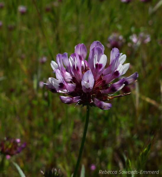 Name: Tomcat Clover (Trifolium willdenovii)<br /> Location: Almaden Quicksilver County Park<br /> Date: April 23, 2010