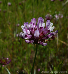 Name: Tomcat Clover (Trifolium willdenovii) Location: Almaden Quicksilver County Park Date: April 23, 2010