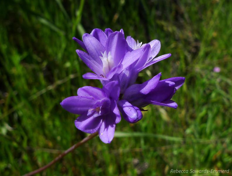 Name: White Blue Dicks (Dichelostemma capitatum)<br /> Location: Almaden Quicksilver County Park<br /> Date: April 23, 2010