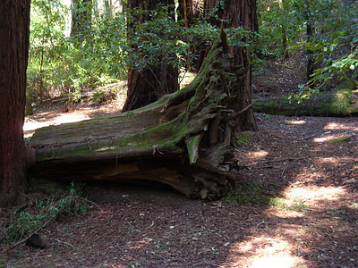 Ginormous tree stump in our campsite