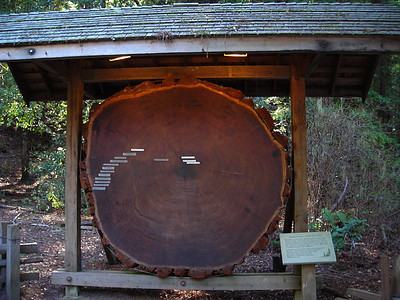 Cross section of a redwood