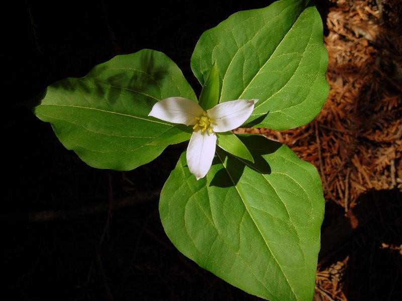 Name: Western Trillium (Trillium ovatum)<br /> Location: Big Basin State Park<br /> Date: March 17, 2007