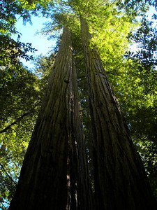 The tall redwoods of Big Basin