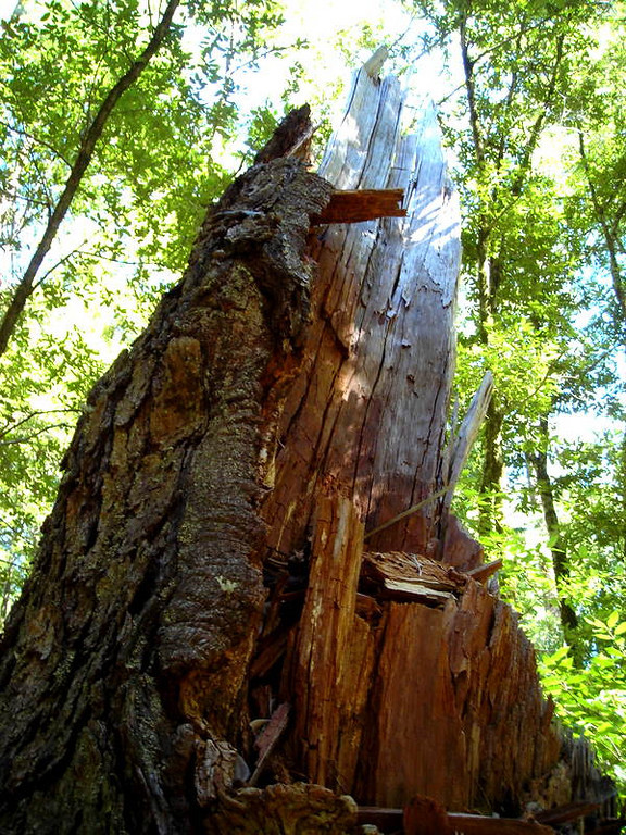 Splintered tree