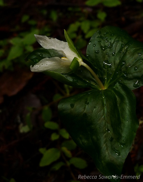 Name: Western Trillium (Trillium ovatum)<br /> Location: Big Basin, Berry Creek Falls<br /> Date: January 31, 2010