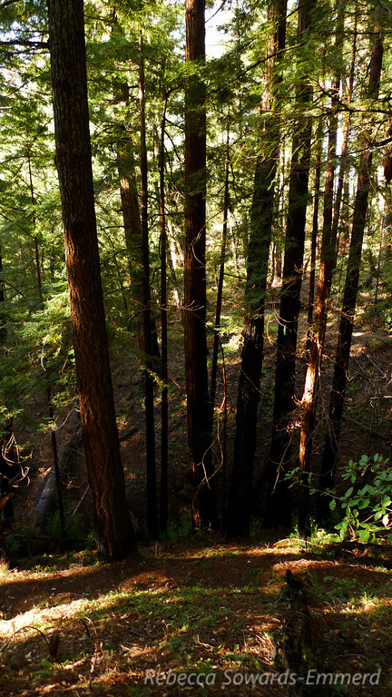 The sunset trail is a lovely stroll through the redwoods. Relatively flat and easy for the most part.