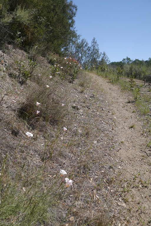 Mariposa Lilies on the trail.
