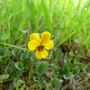 Name: Johnny Jump Up, Yellow Pansy, California Golden Violet (Viola pedunculata)<br /> Location: Calero County Park<br /> Date: March 1, 2008
