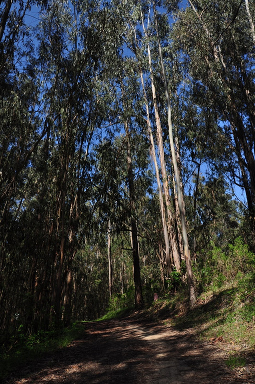 Lots of eucalyptus groves in this park
