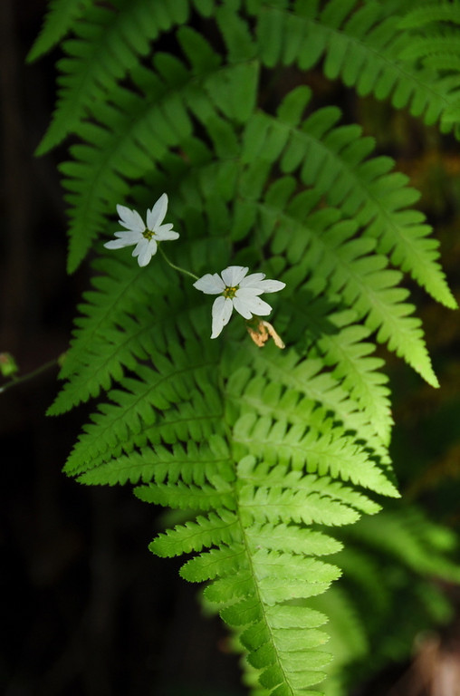 Name: Hill Star, Woodland Star (Lithophragma affine)<br /> Location: Anthony Chabot Regional Park<br /> Date: May 9, 2009