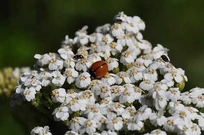 Bug convention on some Yarrow