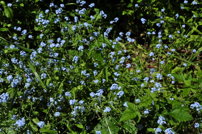 More forget-me-not than I've ever seen in one place!
