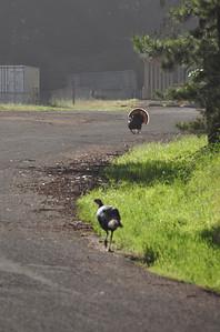 Wild turkeys at the gun range  Not very smart turkeys