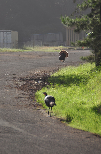 Wild turkeys at the gun range<br /> <br /> Not very smart turkeys