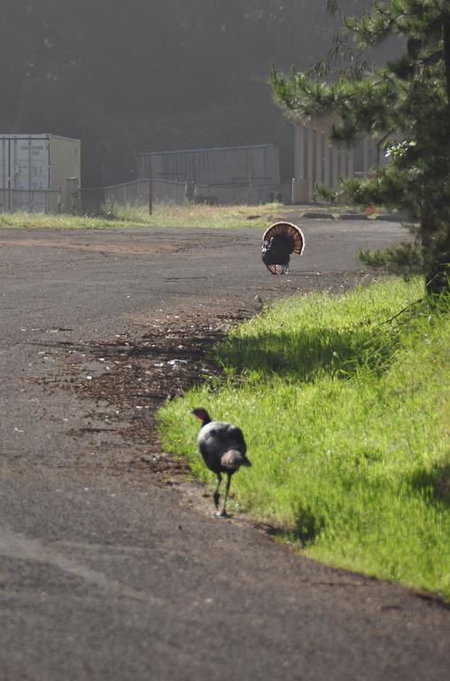 Wild turkeys at the gun range<br /> <br /> Not very smart turkeys
