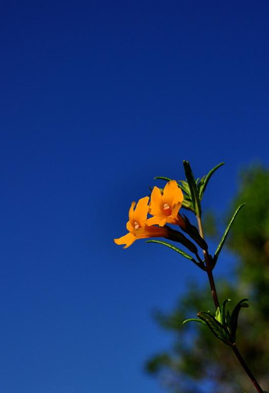 Name: Bush Monkey Flower (Mimulus aurantiacus)<br /> Location: Anthony Chabot Regional Park<br /> Date: May 9, 2009