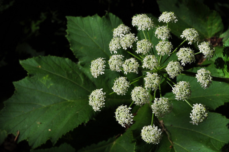Name: Cow Parsnip (Heracleum lanatum)<br /> Location: Anthony Chabot Regional Park<br /> Date: May 9, 2009