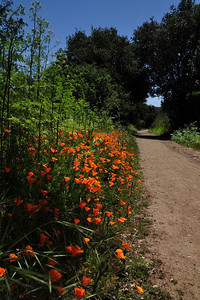 Poppies lining the trail