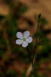 Narrow-leaf Flax