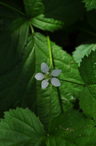 To Be Identified - likely a berry blossom