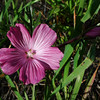 Checkerbloom