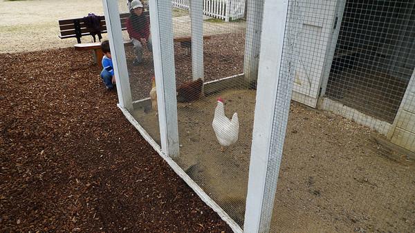 Chickens at bernal ranch