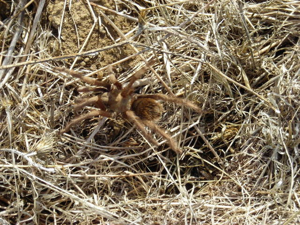Tarantula<br /> <br /> It's the tail end of the tarantula migration, so I was hoping to see some of these furballs. This guy was crawling along pretty quickly - probably trying to catch up with his buddies who came through in October.