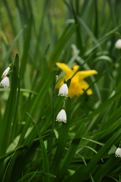 Name: Snowflake, Snowdrop (Leucojum aestivum)<br /> Location: Edgewood County Park<br /> Date: March 14, 2009