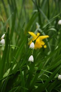 Name: Snowflake, Snowdrop (Leucojum aestivum) Location: Edgewood County Park Date: March 14, 2009