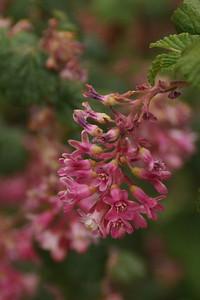 CURRANT, CHAPARRAL VAR. MALVACEUM Ribes malvaceum var. malvaceum Grossulariaceae (Gooseberry)