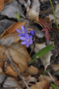 BLUE DICKS SSP. CAPITATUM Dichelostemma capitatum ssp. capitatum Liliaceae (Lily)